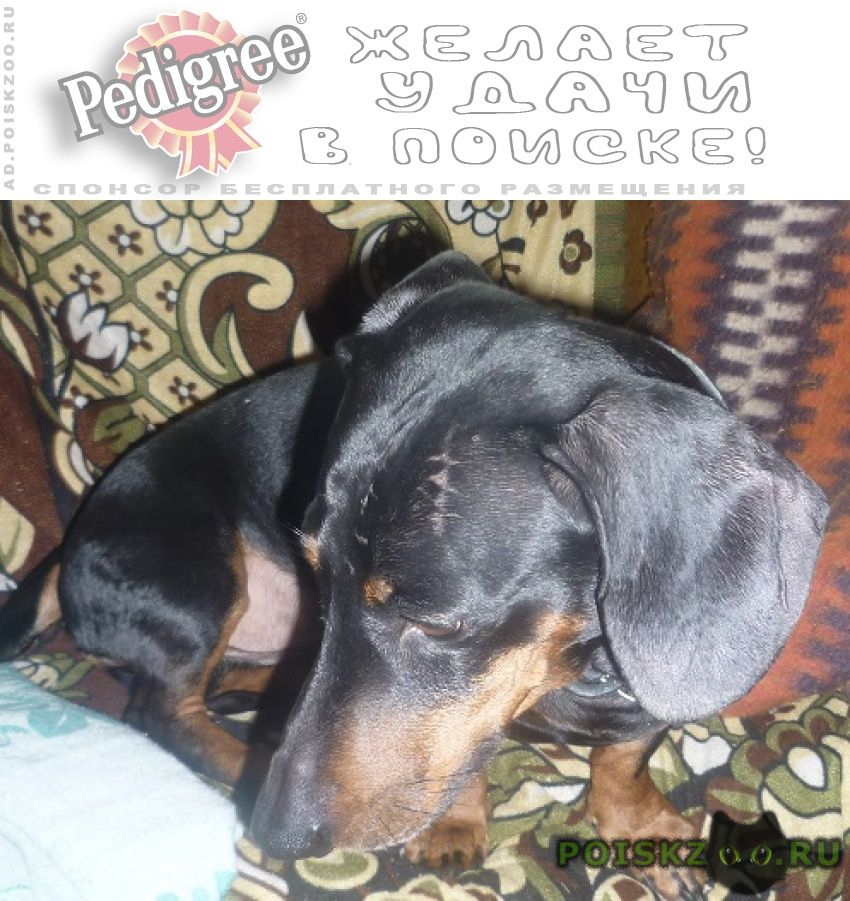 Пропала собака кобель такса г.Иваново