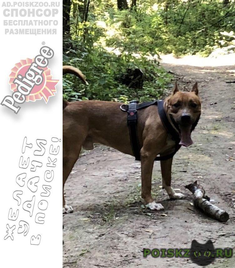 Пропала собака кобель убежал стафф г.Москва