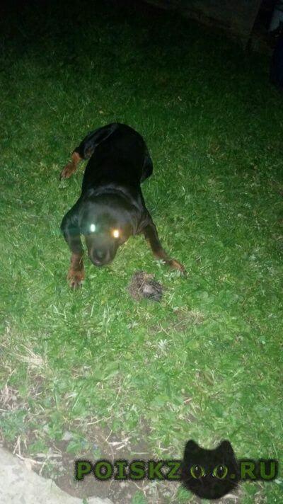 Пропала собака кобель ротвейлер г.Востряково