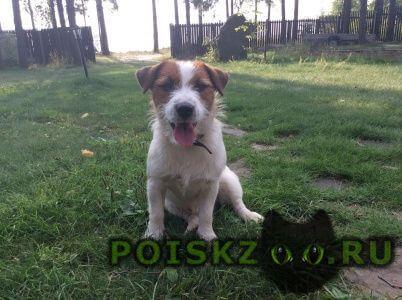Пропала собака кобель джек рассел терьер г.Нижний Новгород