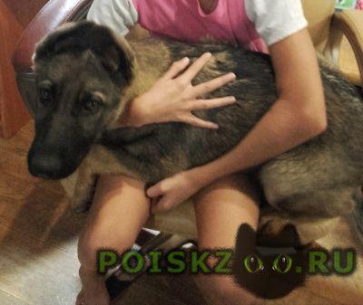 Пропала собака помогите  щенок-овчарка г.Энгельс