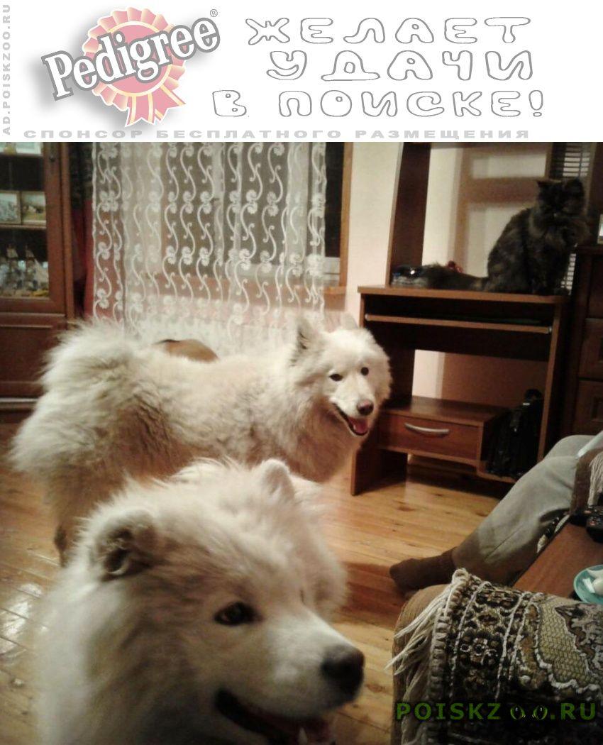Пропала собака самоедская г.Новокузнецк