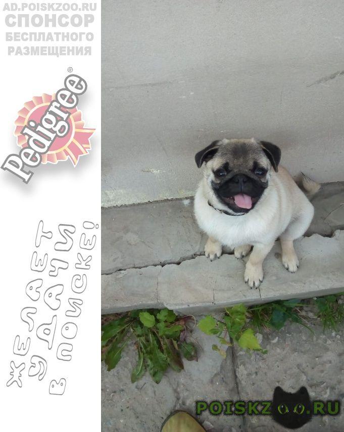 Пропала собака кобель попал мопс г.Актобе (Актюбинск)