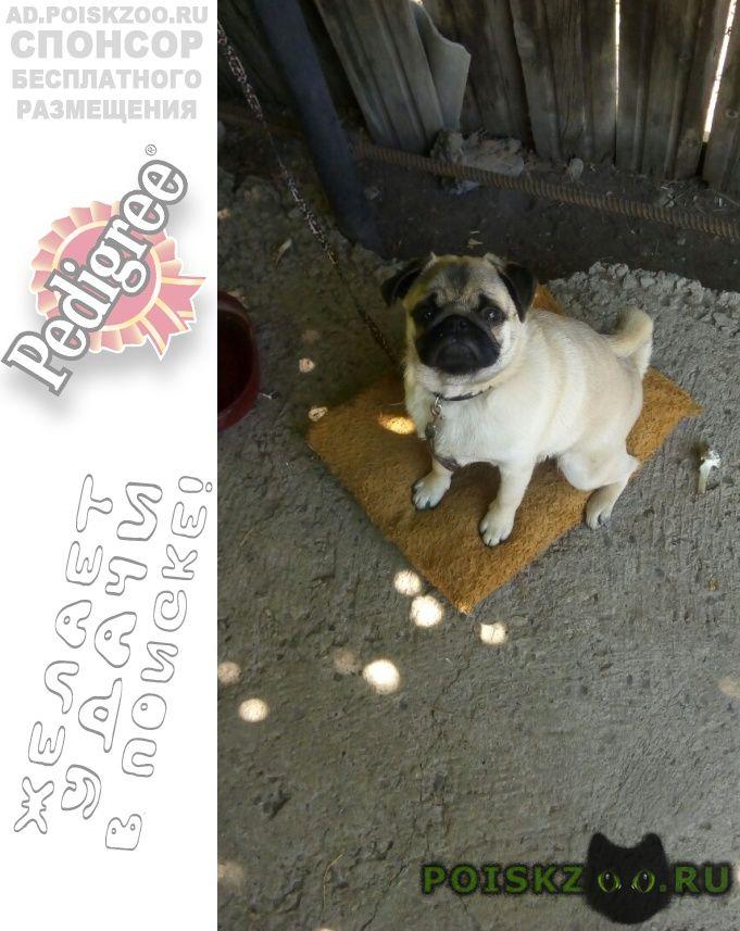 Пропала собака кобель мопс г.Актобе (Актюбинск)