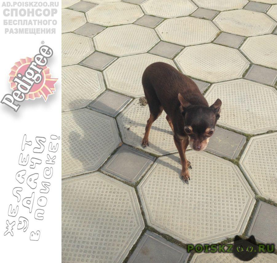 Пропала собака кобель русский той-терьер г.Анапа