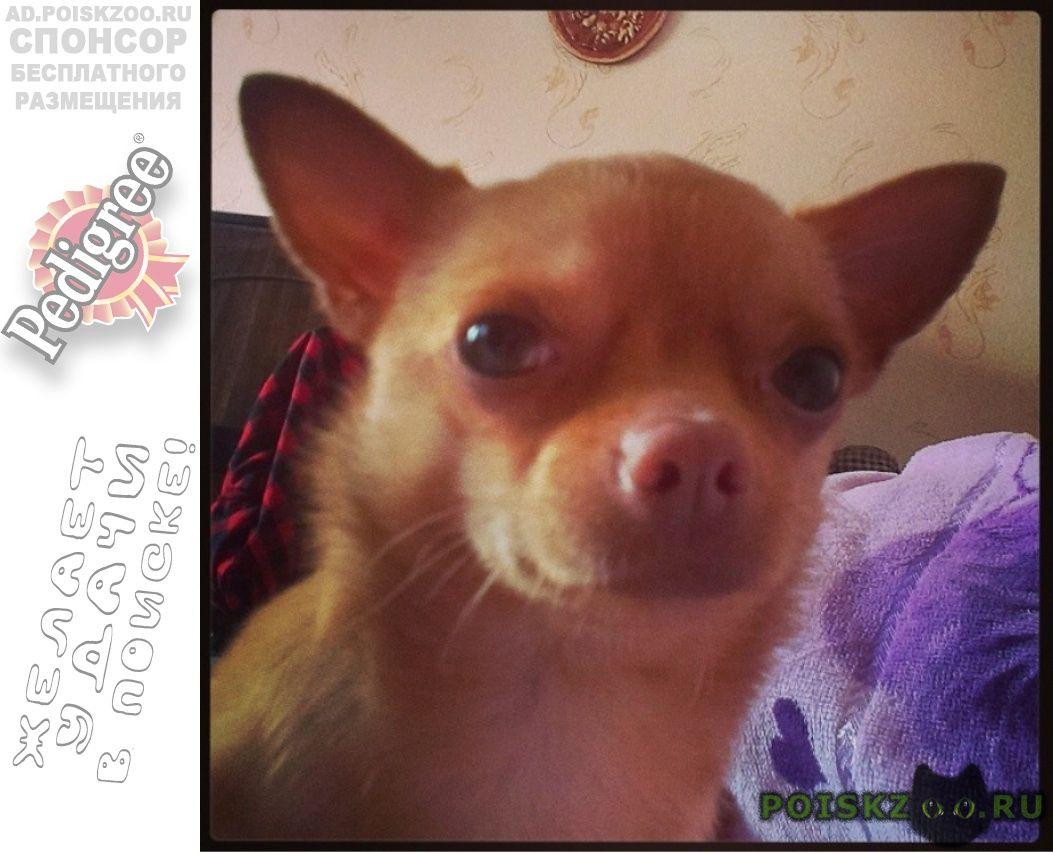 Пропала собака кобель чихуахуа г.Анжеро-Судженск