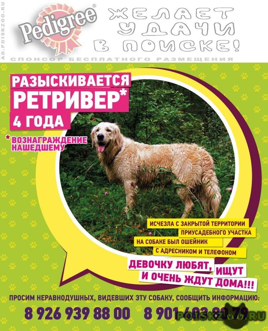 Пропала собака девочка золотистый ретривер г.Голицыно (Московская обл.)