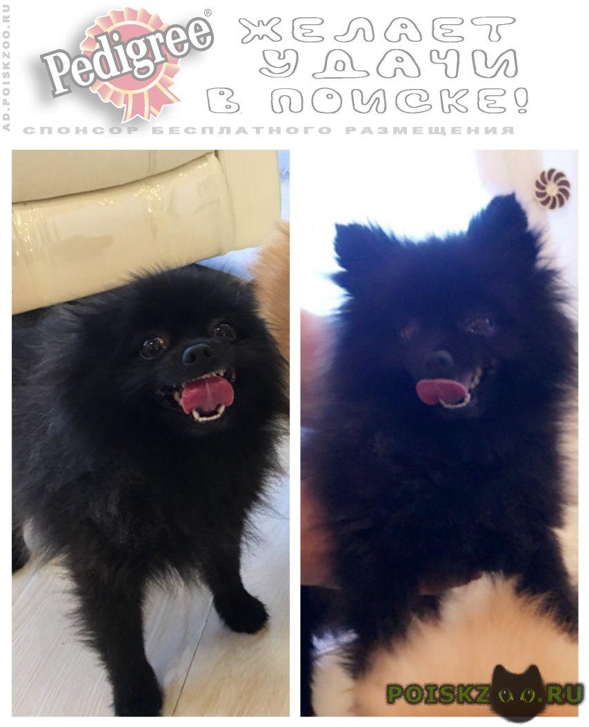 Пропала собака кобель чёрный шпиц г.Чита