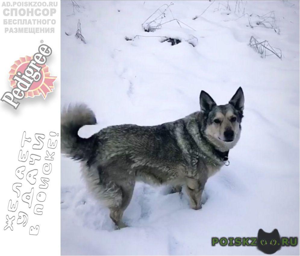 Пропала собака, дворняга. г.Звенигород