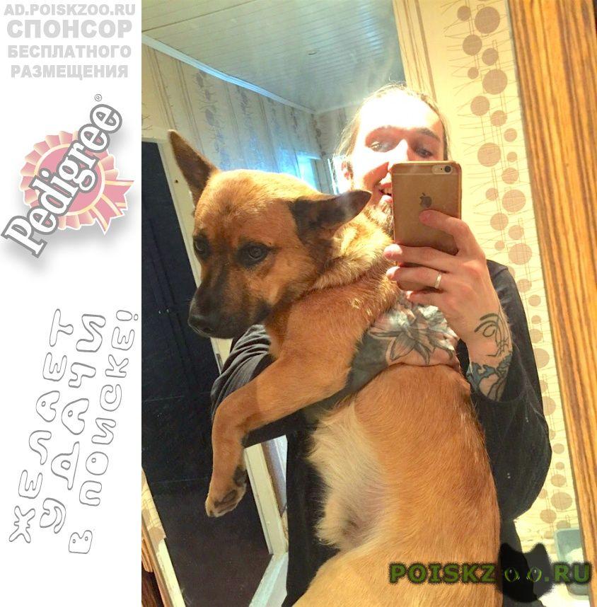 Пропала собака кобель 2.09 юзао рыжий хвост крючком г.Москва