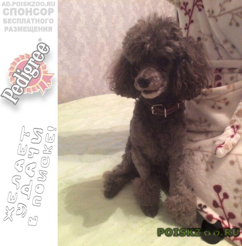 Пропала собака кобель пудель г.Домодедово