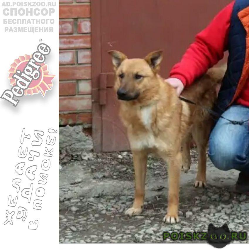 Пропала собака кобель рыжий пёс г.Краснодар
