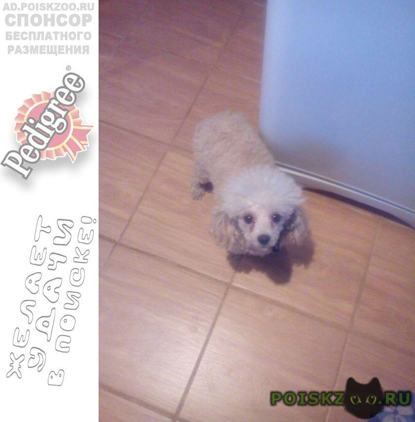 Пропала собака мольтийская болонка вознагражд. г.Оренбург