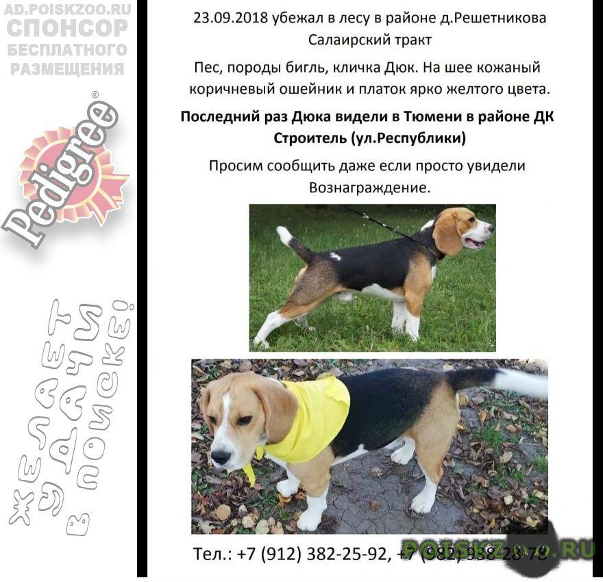 Пропала собака кобель вознаграждение 20000 рублей г.Тюмень