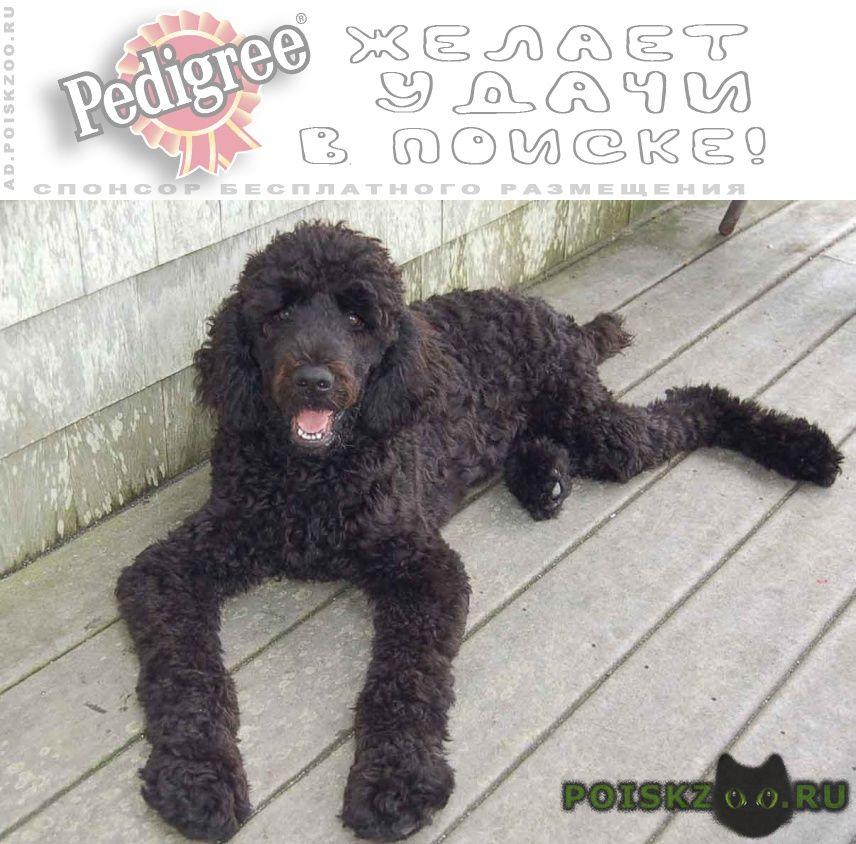 Пропала собака 2 пуделя суки черный и коричневый г.Балашиха
