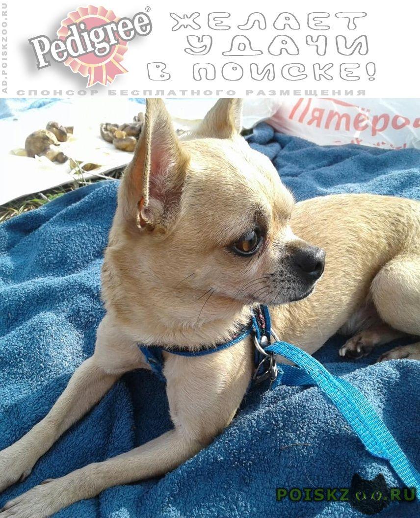 Пропала собака кобель чихуахуа г.Боголюбово