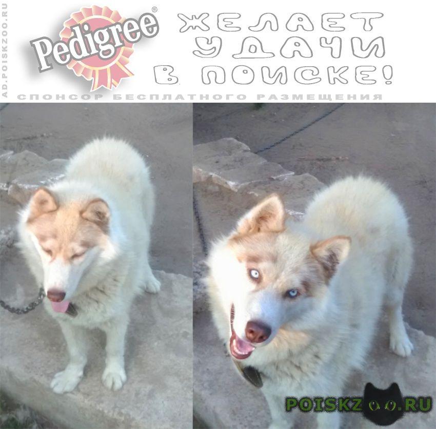 Пропала собака кобель хаски нижегородская обл, г. г.Арзамас