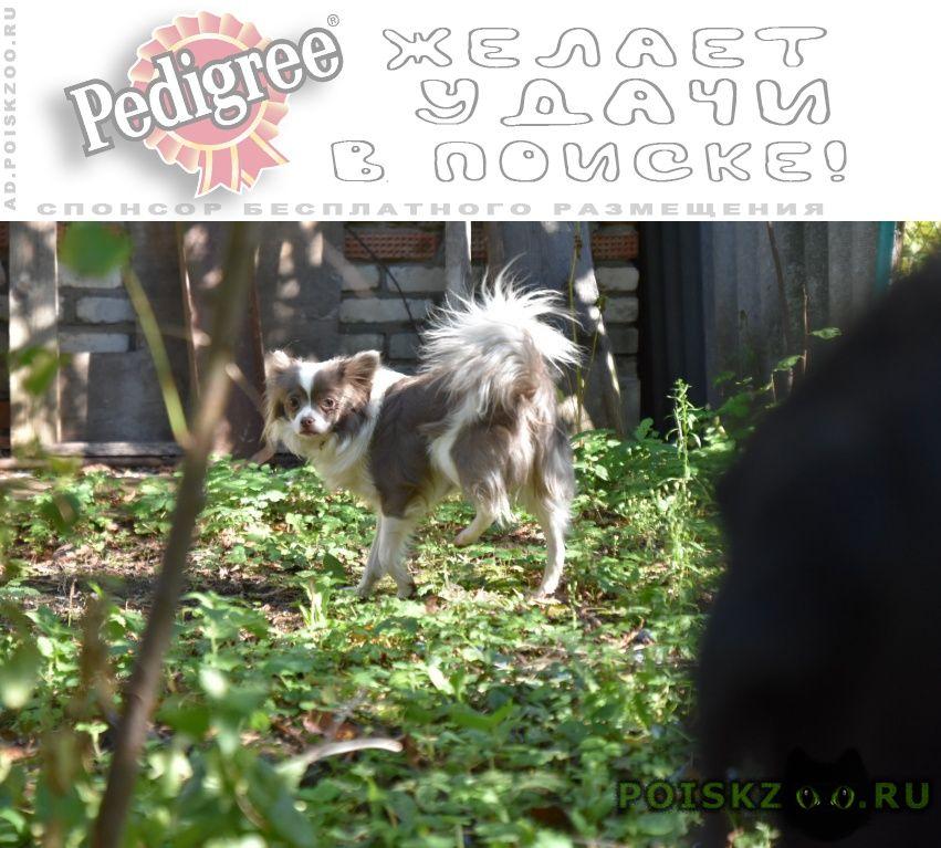 Пропала собака пипильон в городе г.Раменское