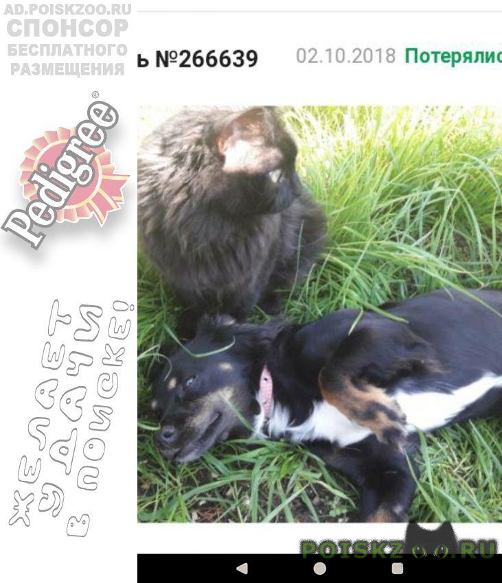 Пропала собака кличка жуля г.Сургут