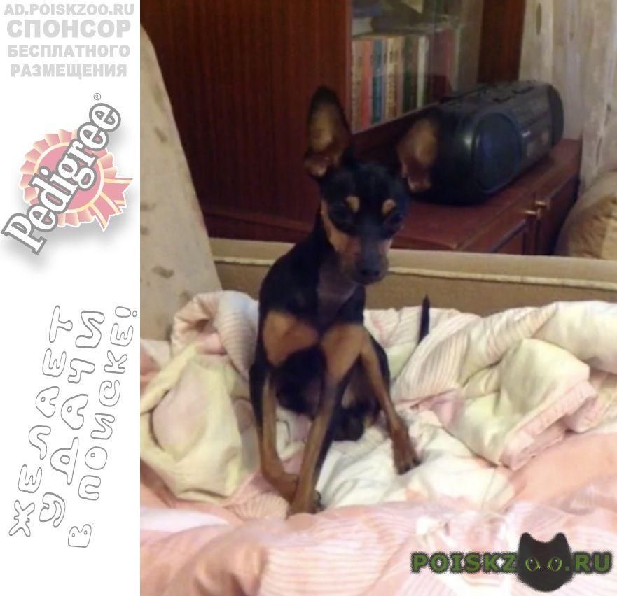 Пропала собака кобель той терьер г.Краснодар