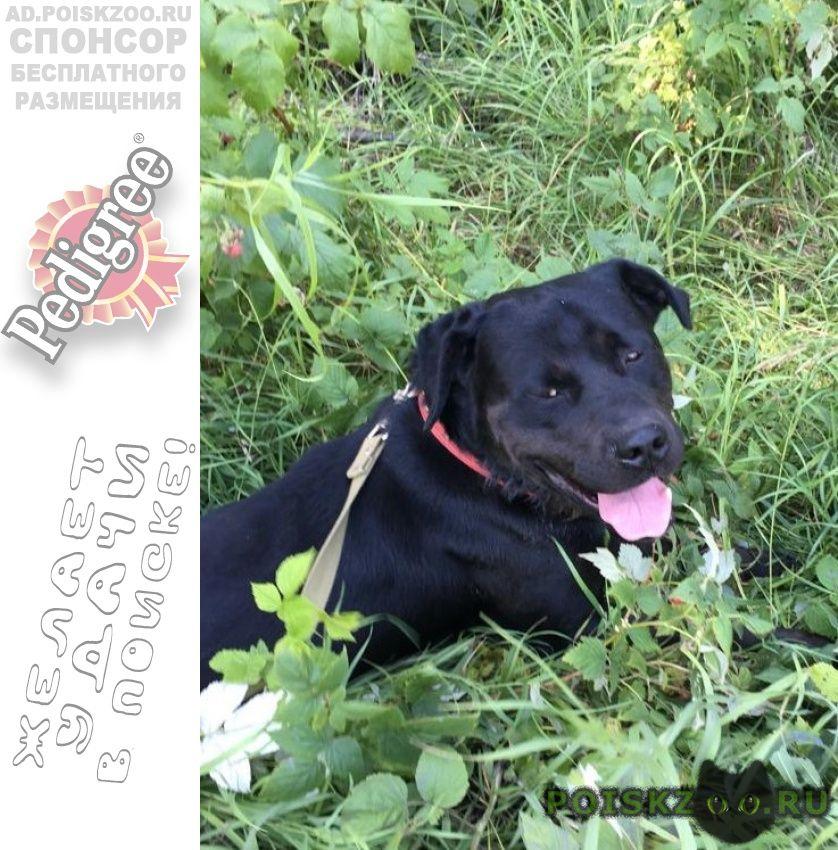 Пропала собака кобель черный лабрадор, мальчик г.Санкт-Петербург