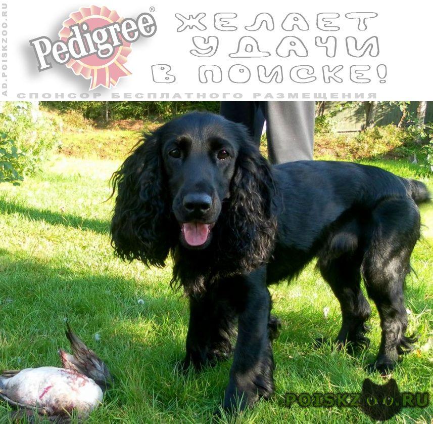 Пропала собака кобель русский серебристо черный спаниэль г.Саратов