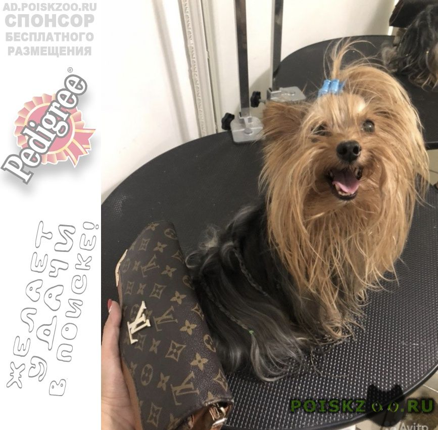 Пропала собака кобель йоркширский терьер г.Волгоград