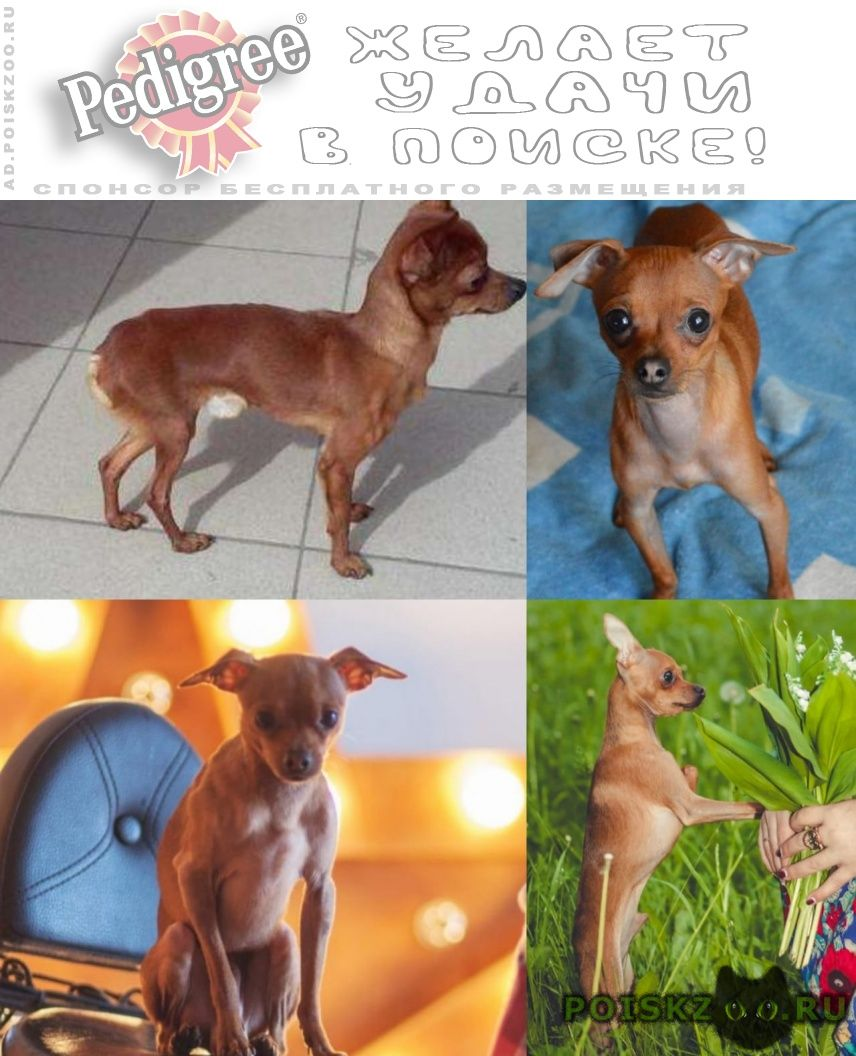 Пропала собака кобель мини той-терьер г.Томск