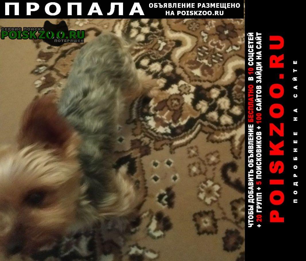 Пропала собака порода йошкарский терьер Новороссийск