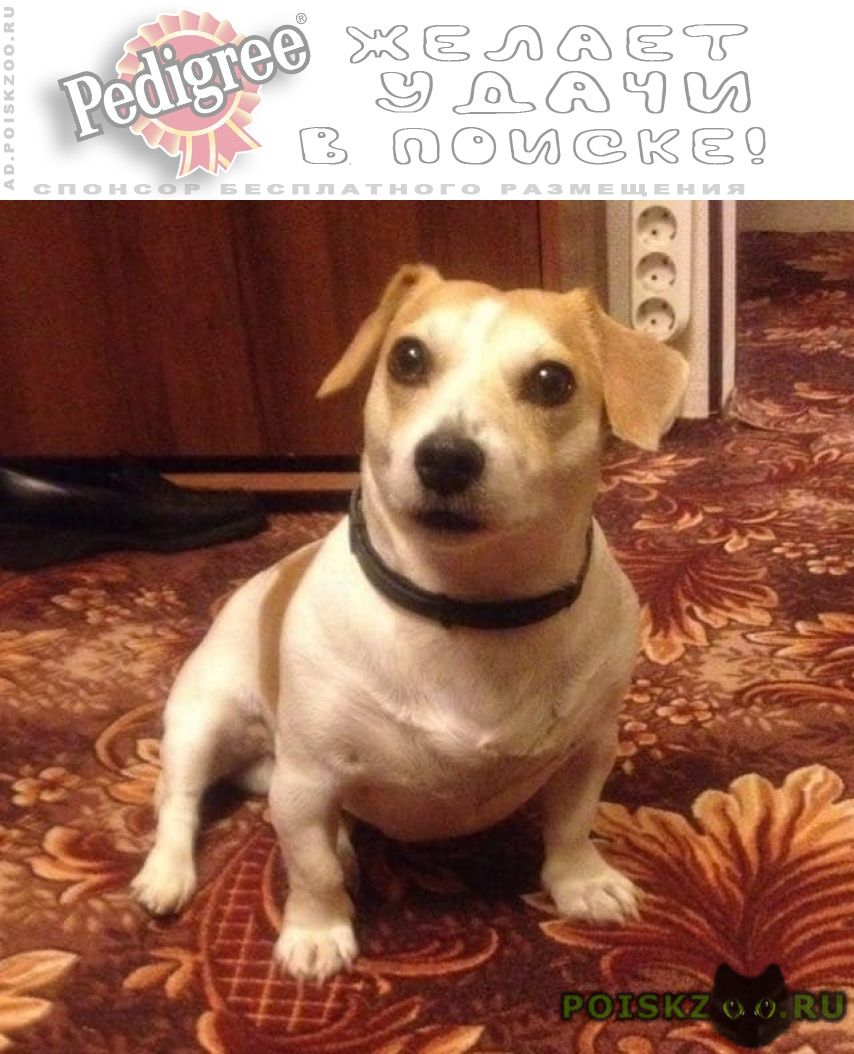 Пропала собака кобель джек рассел в тропарево-никулино г.Москва
