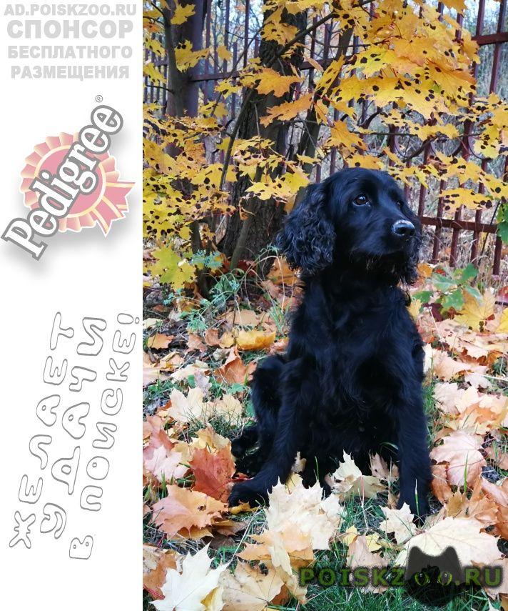 Пропала собака кокер спаниель чёрного цвета г.Красногорск