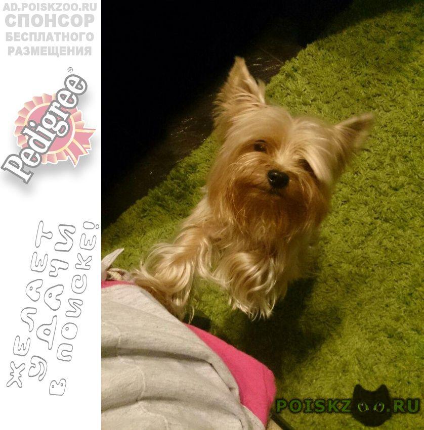 Пропала собака кобель йорк, маленький серо-рыжий по кличке хью г.Краснодар