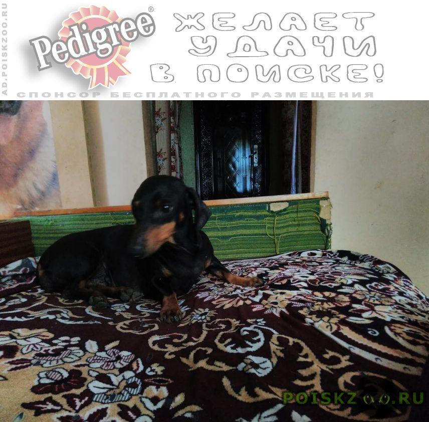 Пропала собака кобель такса мальчик имя чиж г.Калач-на-Дону