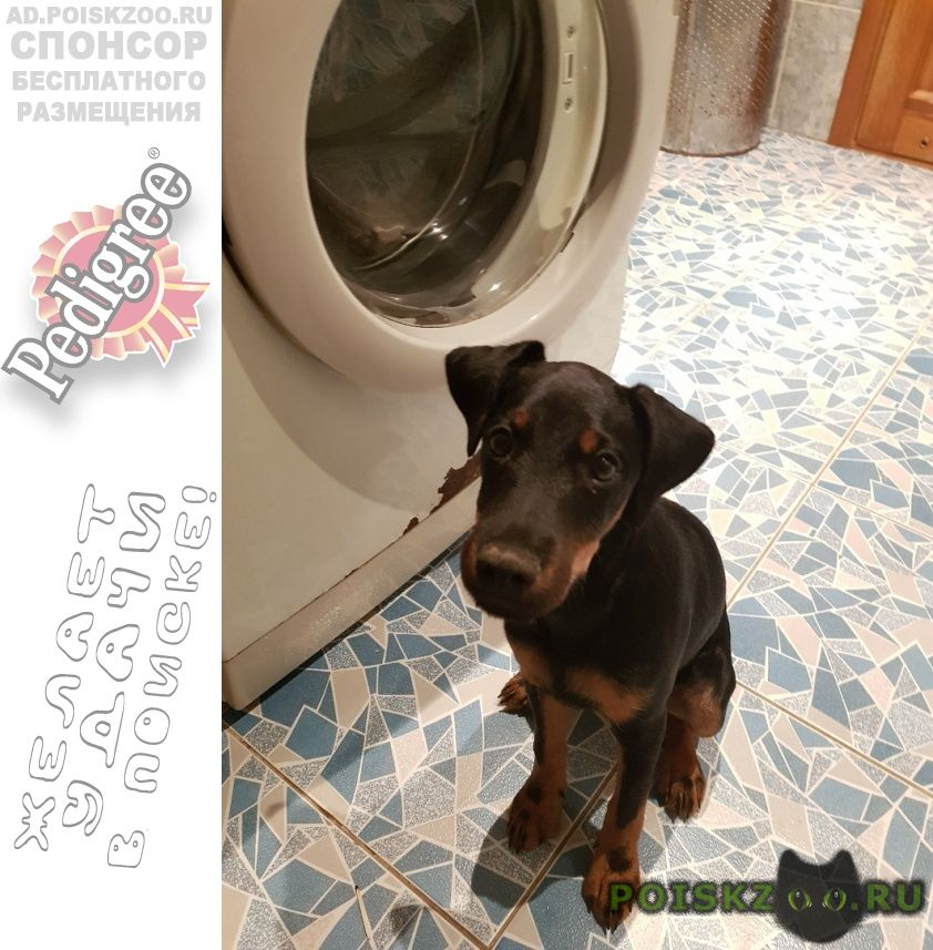 Пропала собака кобель немецкий ягдтерьер по кличке ганс г.Волгоград