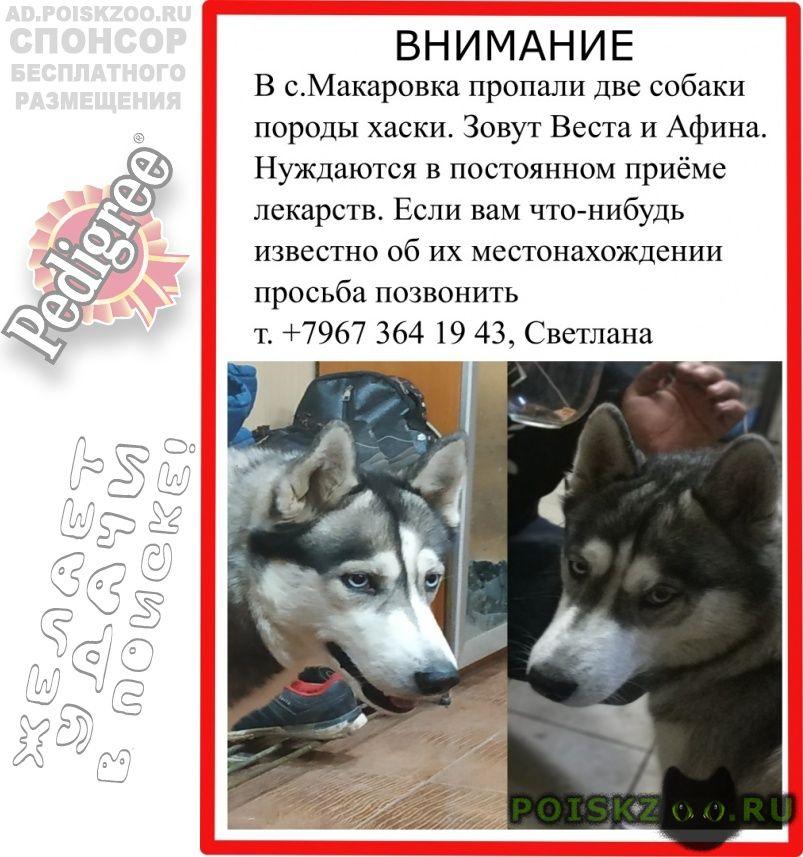 Пропала собака хаски, серые, голубоглазые г.Казань