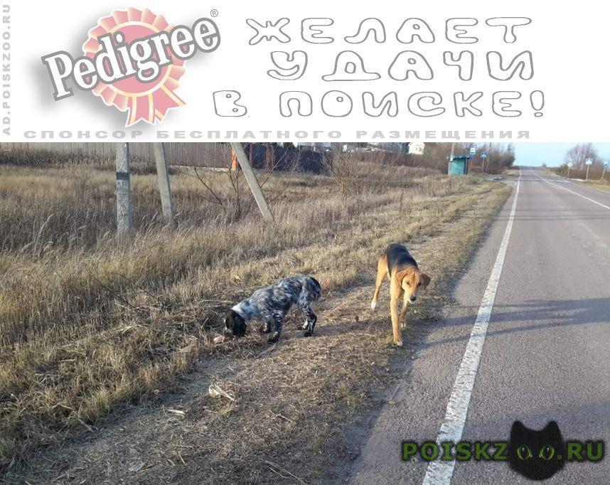 Пропала собака кобель 14.11 спаниель гончая г.Звенигород