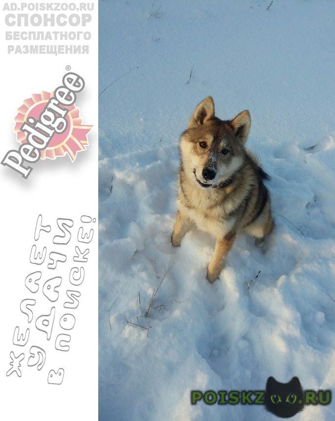 Пропала собака кобель серый окрас. коричневый ошейник, г.Кудымкар