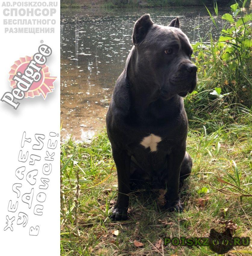 Пропала собака кобель украли собаку кане-корсо г.Москва