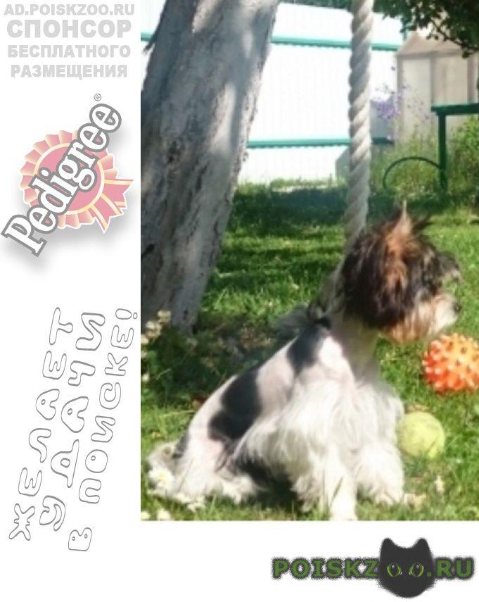 Пропала собака бивер йорк г.Москва