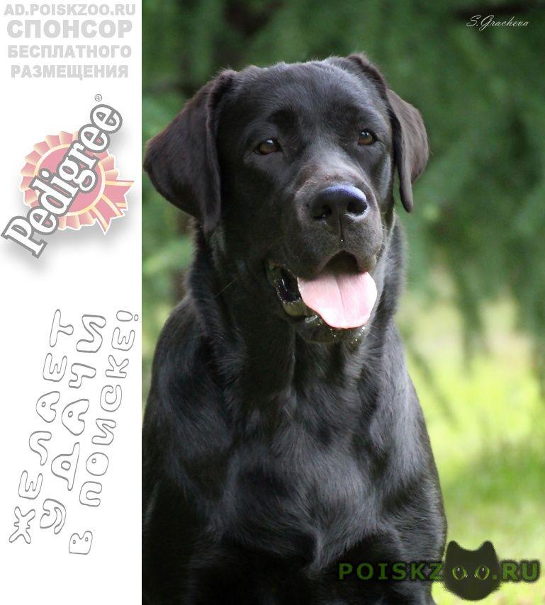 Пропала собака лабрадор сука черного окраса г.Хабаровск