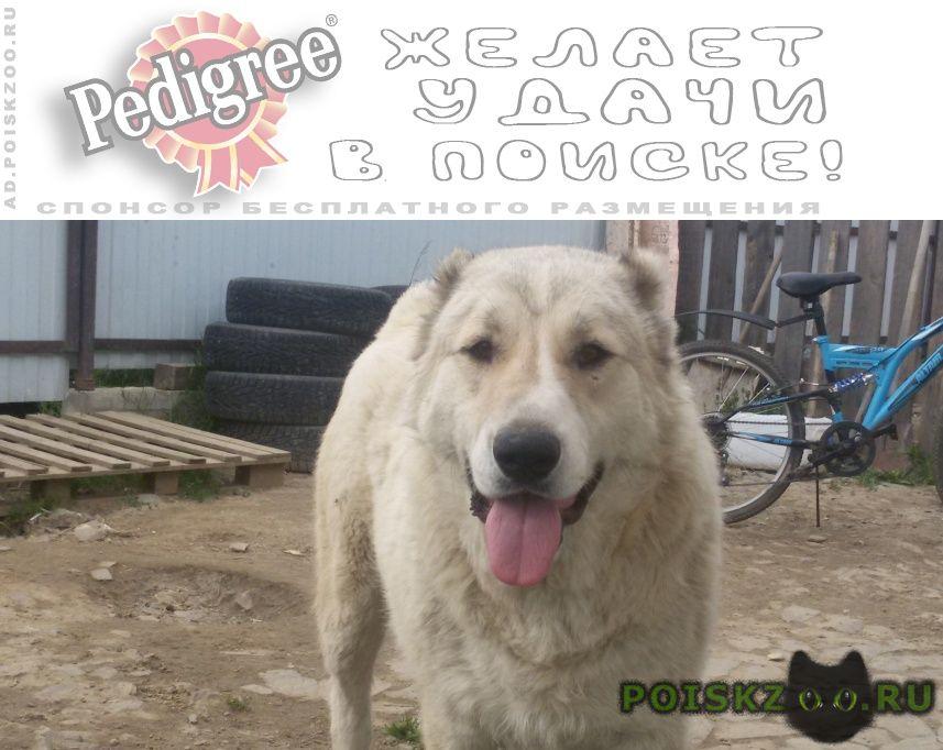 Пропала собака кобель алабай г.Екатеринбург