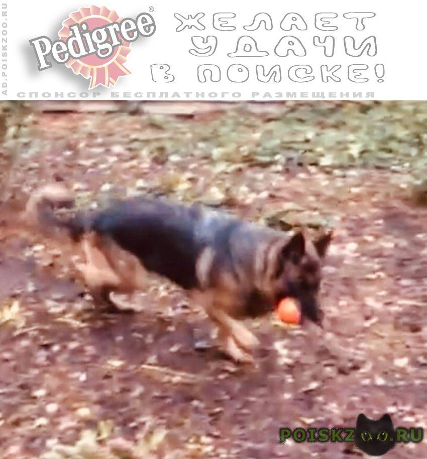 Пропала собака немецкая овчарка «кэти» г.Тамбов