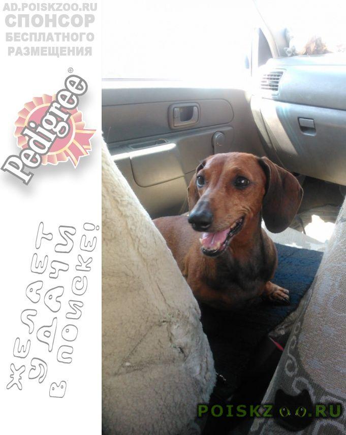 Пропала собака такса рыжая г.Ростов-на-Дону