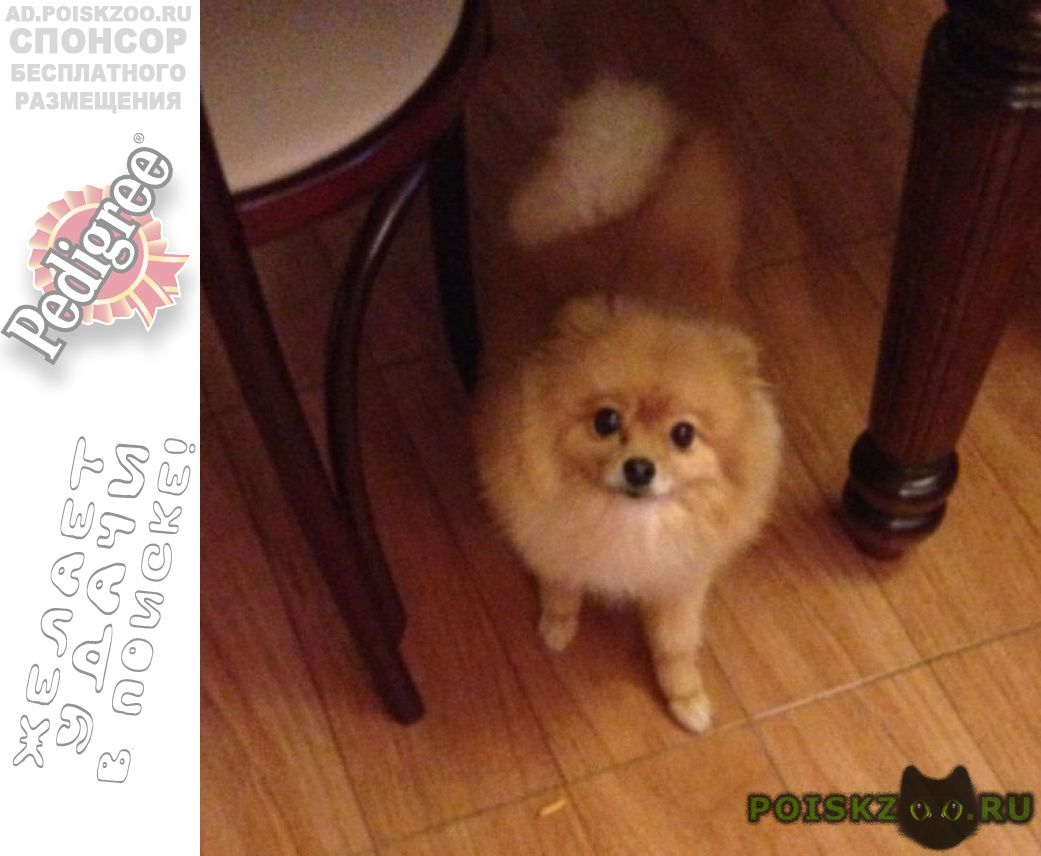 Пропала собака кобель померанский шпиц г.Калининград (Кенигсберг)