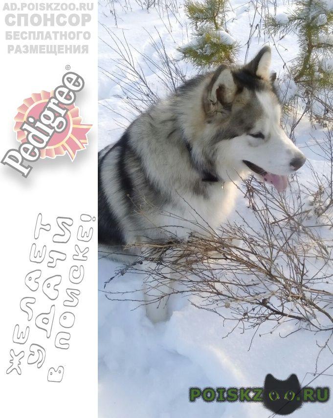 Пропала собака кобель аляскинский маламут г.Владимир