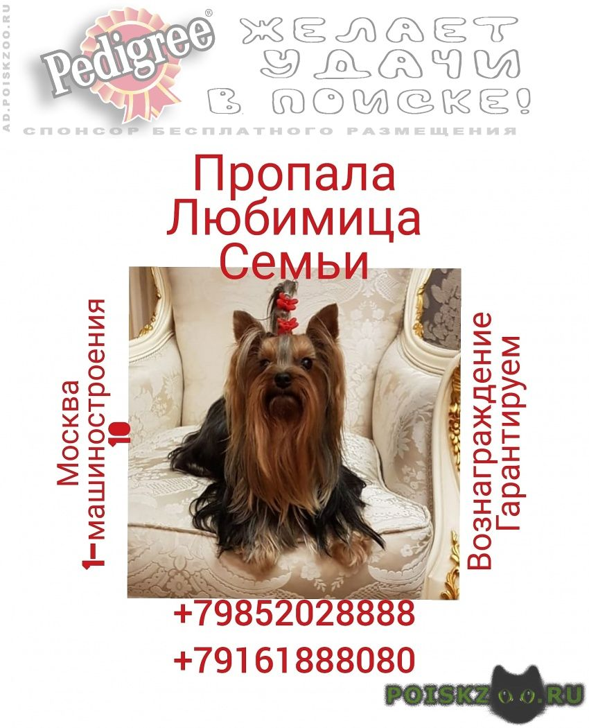 Пропала собака йоркширский терьер г.Москва
