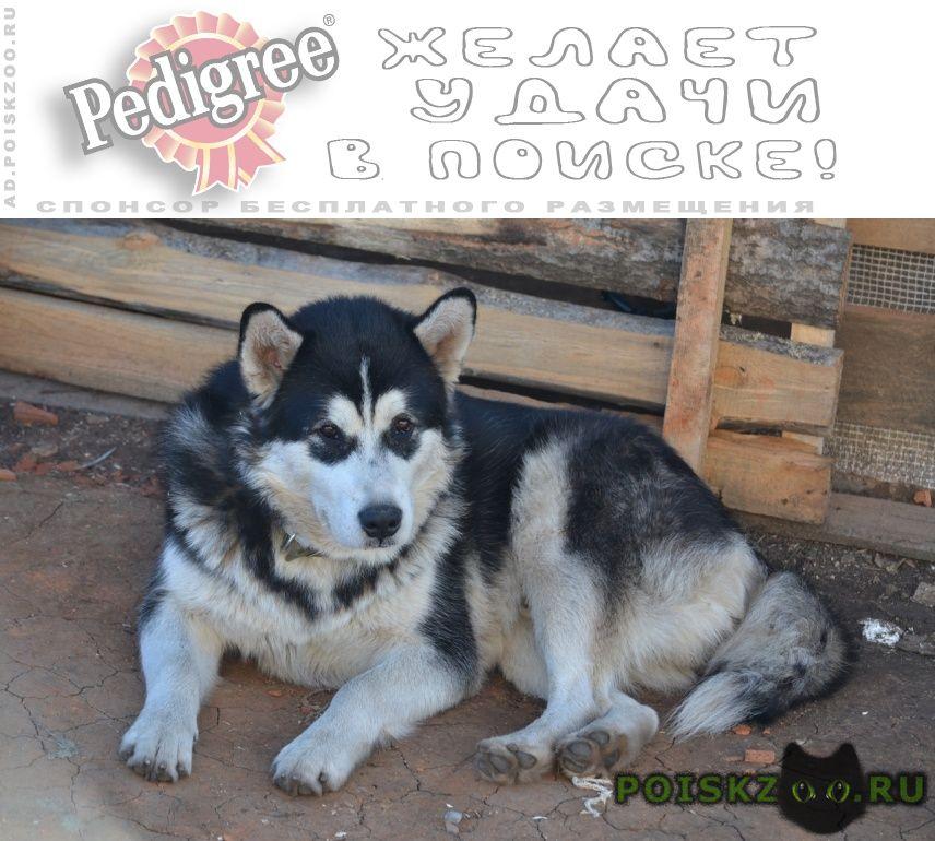 Пропала собака кобель аляскинский маломут г.Саранск