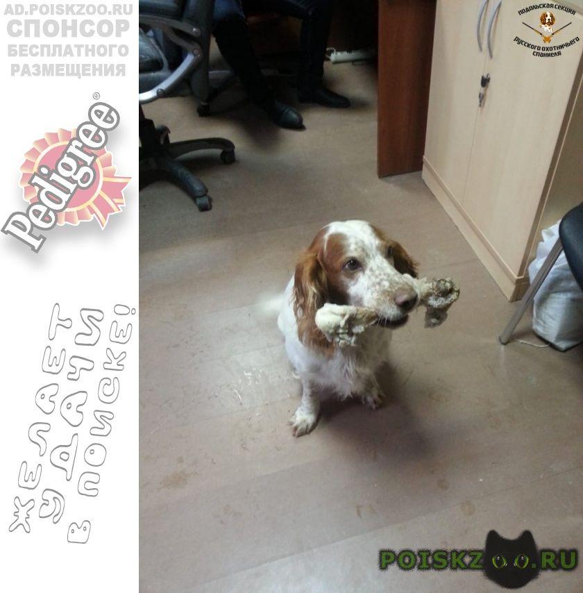 Пропала собака кобель 20.12 спаниель силикатная ж д г.Подольск
