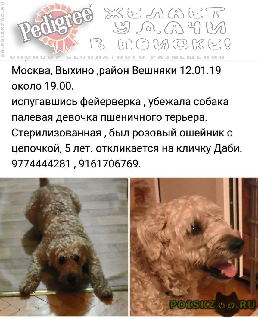 Пропала собака девочка ирландский мягкошёрстный г.Москва