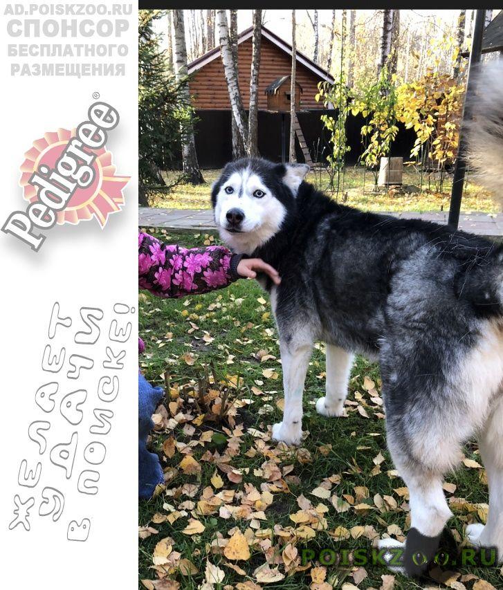 Пропала собака хаски г.Чехов